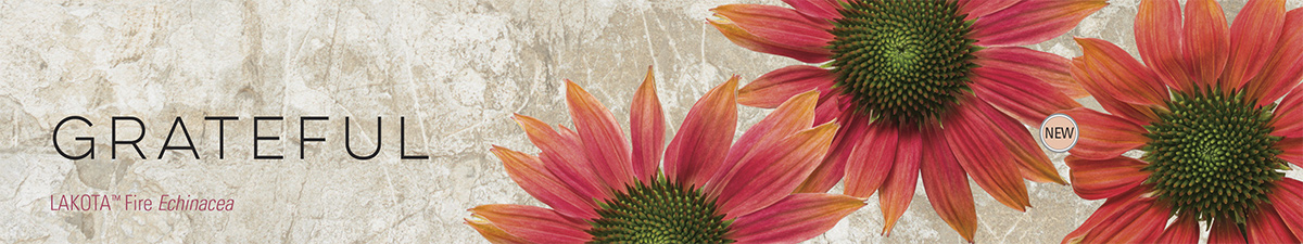 GRATEFUL - Lakota™ Fire Echinacea