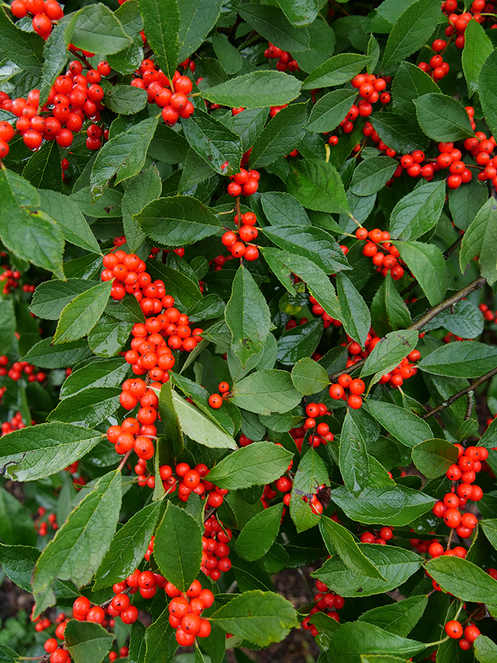 Ultimate Guide To Winterberry Holly Proven Winners