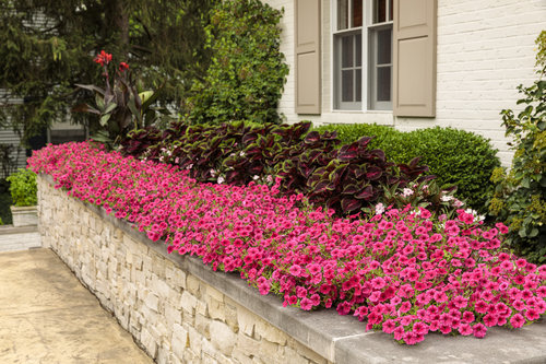 17 Tall Annuals For The Middle Of, What Is An Annual Bedding Plant