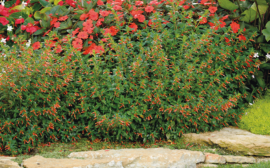 10 Annual Plants For Hot Dry Climates Proven Winners
