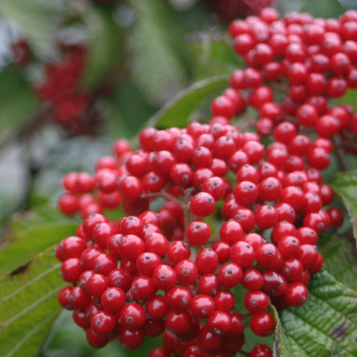10 Berry Producing Shrubs Proven Winners