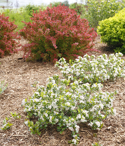 An In Depth Look At Proven Winners Native Shrubs Proven Winners