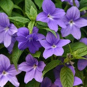 Five Made In The Shade Annuals Proven Winners