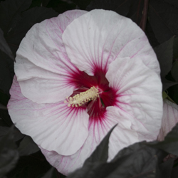 SUMMERIFIC u0027Perfect Stormu0027 & How to Grow u201cDinner Plateu201d Hibiscus | Proven Winners
