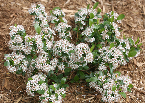 Easy Care Landscaping With Low Growing Groundcover Shrubs Proven Winners