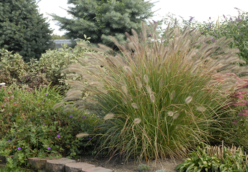 Ornamental Grasses For Inspired Designs Proven Winners