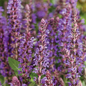Color Spires Salvia Perennial