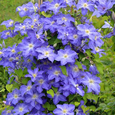 Top 10 Blue Perennials For Dreamy Gardens Proven Winners