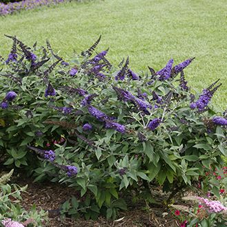 Top 10 Blue Shrubs Proven Winners