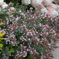 Top 10 shrubs for fragrance proven winners 3 ruby anniversary abelia abelia chinensis mightylinksfo