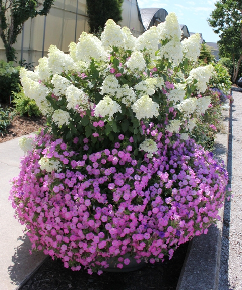 Small Evergreen Shrubs For Pots: Top Ten Shrubs For Containers And Small Gardens