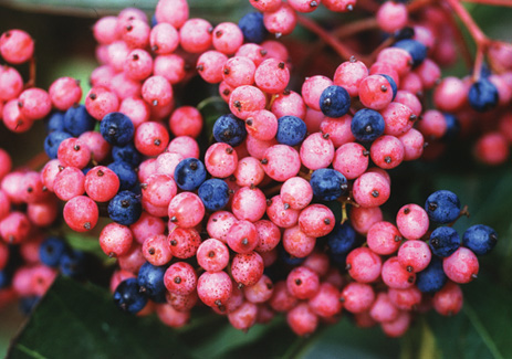 Shrubs that burst into color for fall proven winners it is possible that brandywine viburnum nudum is the perfect plant it has glossy foliage which turns dark maroon red in fall it blooms with white flowers mightylinksfo
