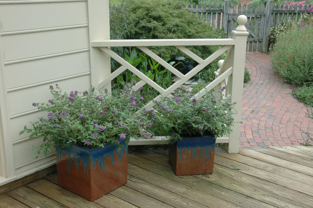 Top Ten Shrubs for Containers and Small Gardens | Proven Winners