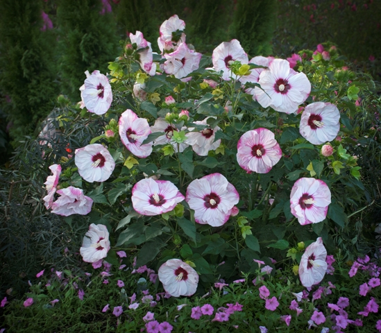 Perennials that burst into color for fall proven winners the color range is pink white lavender and red with some gorgeous bicolors blooms are often 6 8 inches across mightylinksfo