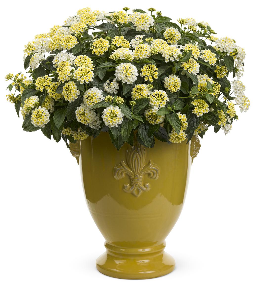 A star is born annuals proven winners izmirmasajfo