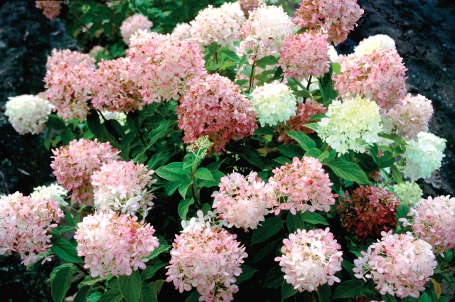 Shrubs are a natural source for adding late summer and fall colors, after all fall is known for the colorful foliage of deciduous trees and shrubs.