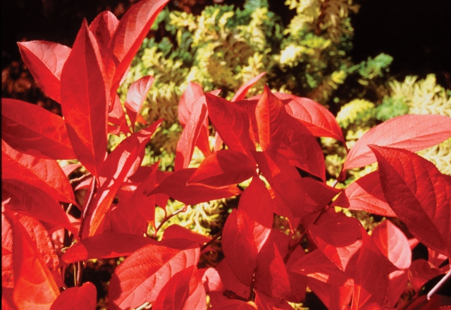 Shrubs That Burst Into Color For Fall Proven Winners