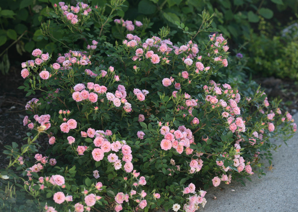 Top ten shrubs for containers and small gardens proven winners disease free landscape rose that doesnt take the romance out of roses try oso happy petit pink hundreds of petal packed pink flowers cover this plant mightylinksfo