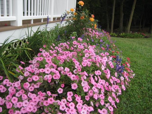 10 Great Landscape Plants Supertunia Vista Bubblegum Proven