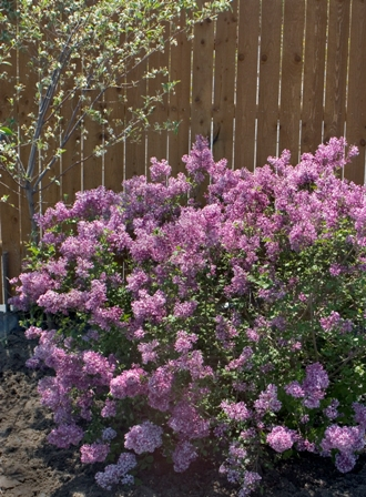 Pruning Shrubs Part 1 Why Prune Proven Winners
