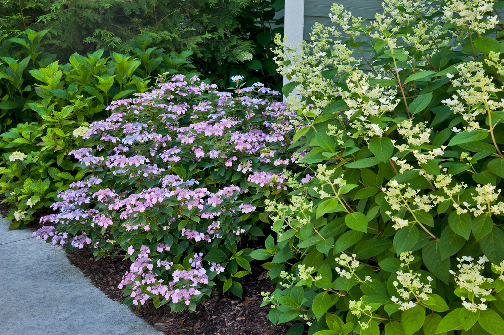 Top ten shrubs for containers and small gardens proven winners mightylinksfo