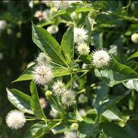 Top 10 shrubs for fragrance proven winners 10 sugar shack buttonbush cephalanthus occidentalis mightylinksfo