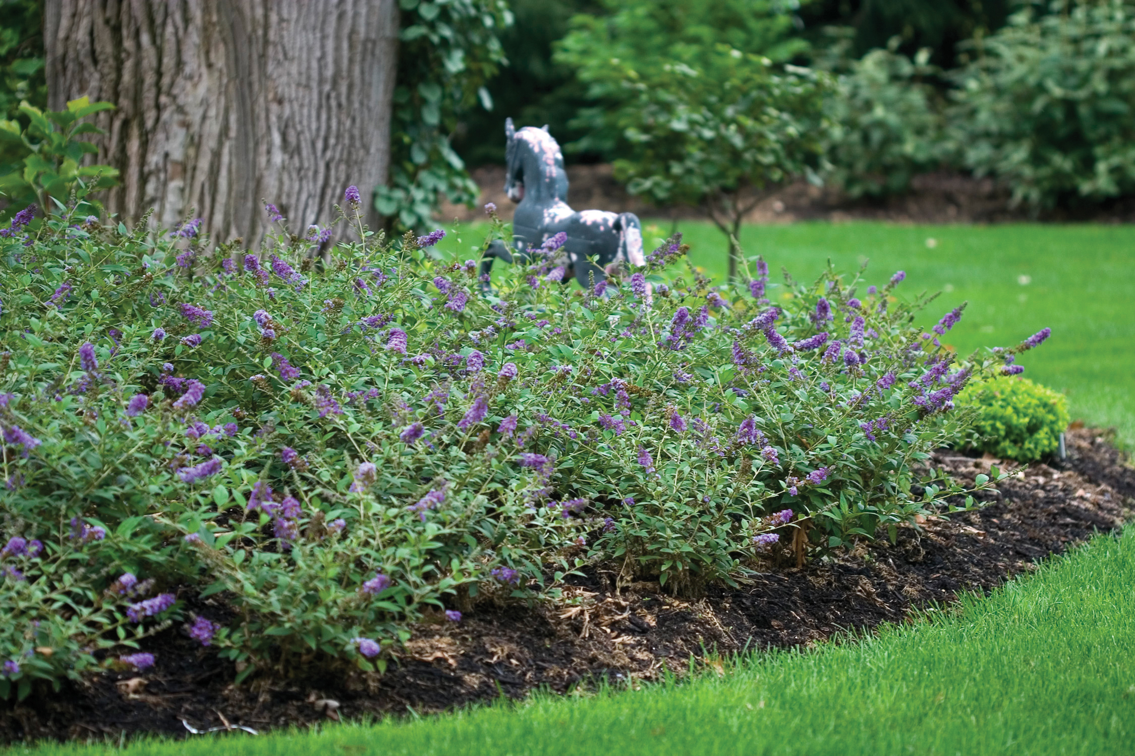 10 great landscape plants lo behold 39 blue chip for Low shrubs for landscaping