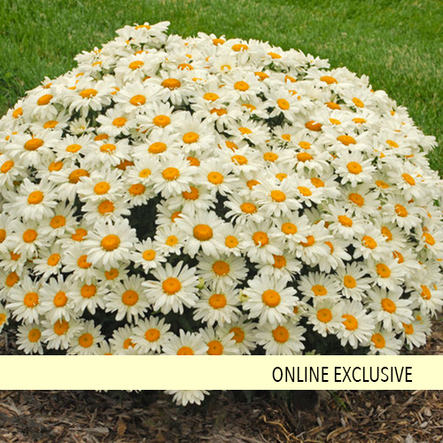 HARDY Bupthalmum Daisy Perennial Plant in 12cm Pot Yellow Just So Sunny /& Happy
