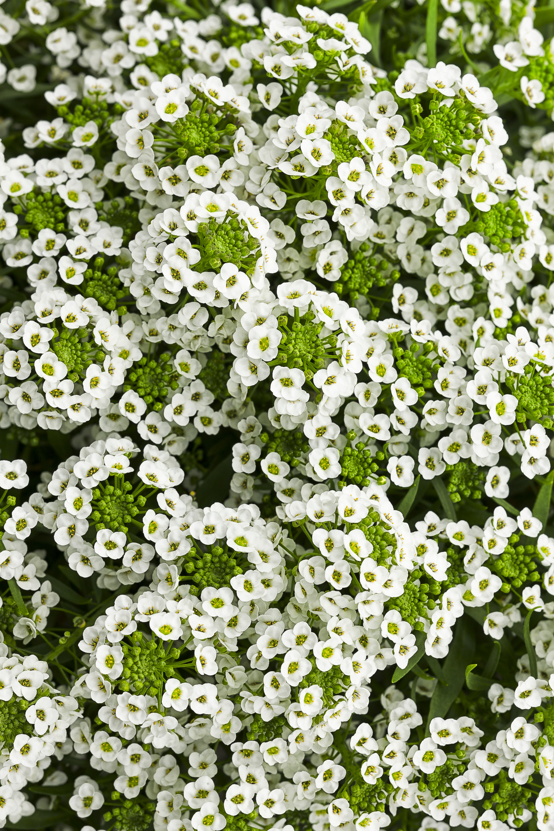 White Knight Sweet Alyssum Lobularia Hybrid Proven Winners
