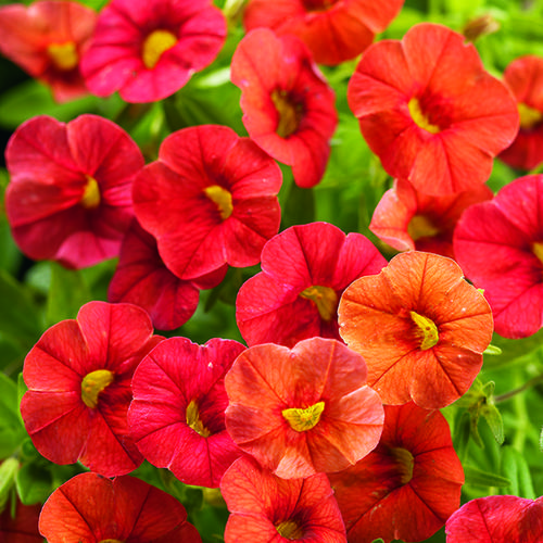 Superbells dreamsicle calibrachoa hybrid proven winners - Calibrachoa superbells ...