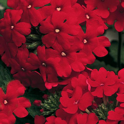 Lanai® Red - Verbena hybrid