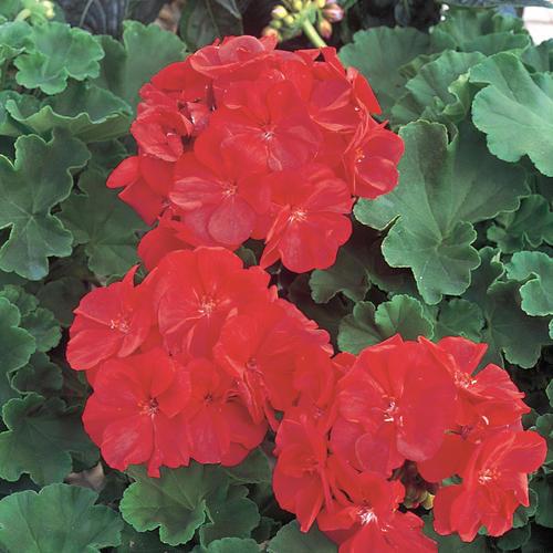 Daredevil® Claret - Zonal Geranium - Pelargonium zonale
