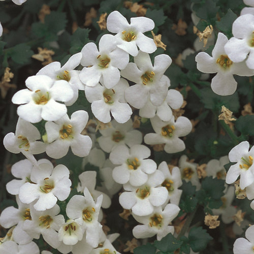 Betty® White - Bacopa - Sutera hybrid