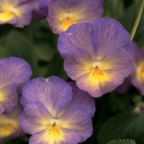 Celestial Starry Night Viola Cornuta Proven Winners