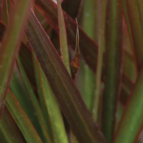 Cordylena® Bloodstone - Madagascar Dragon Tree - Dracaena marginata