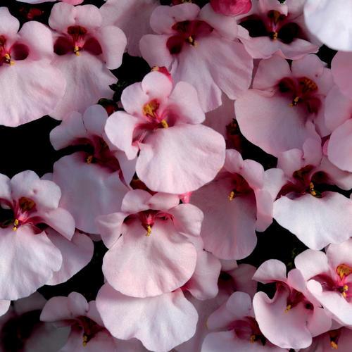 Flirtation® Pink - Twinspur - Diascia hybrid