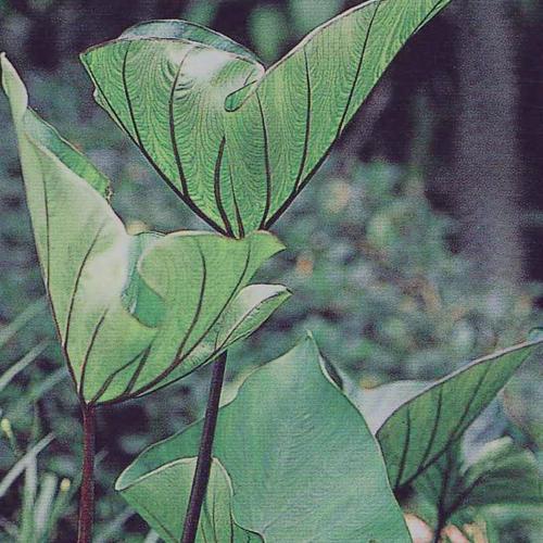 Coffee Cups Elephant S Ear Colocasia Esculenta Proven Winners