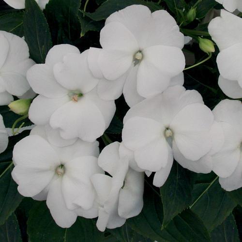 Infinity® White - New Guinea Impatiens - Impatiens hawkeri