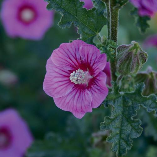 Barely Boysenberry™ - Cape Mallow - Anisodontea hybrid