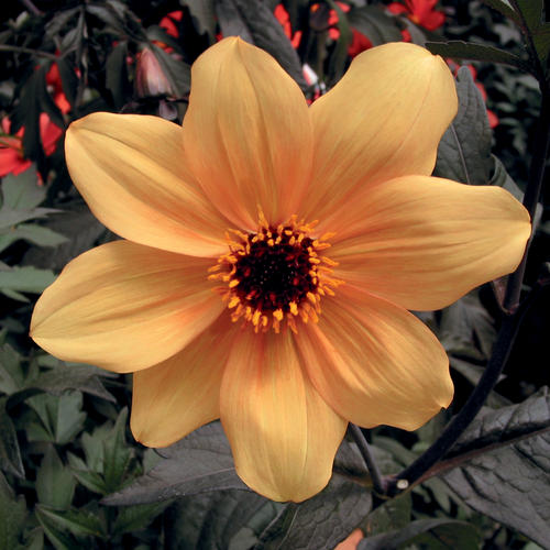 Mystic Spirit - Dahlia hybrid