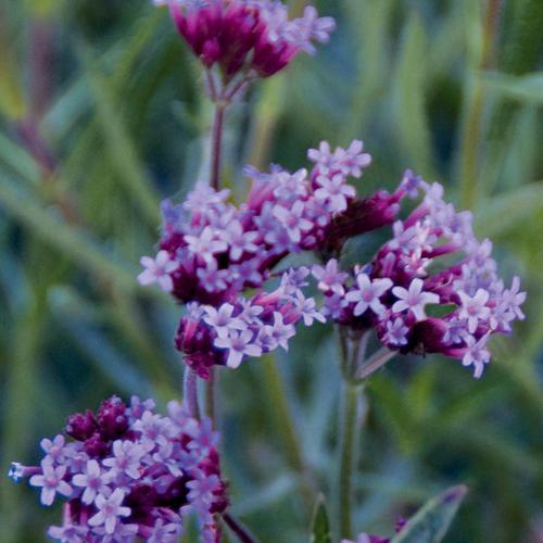'Little One' - Verbena bonariensis