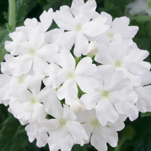 Lanaiu00ae Blush White - Verbena : Proven Winners