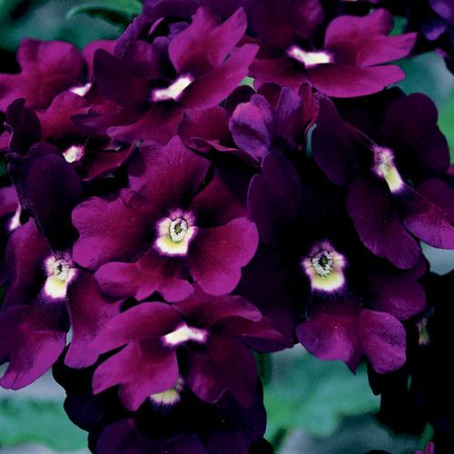 Lanai® Royal Purple with Eye - Verbena hybrid