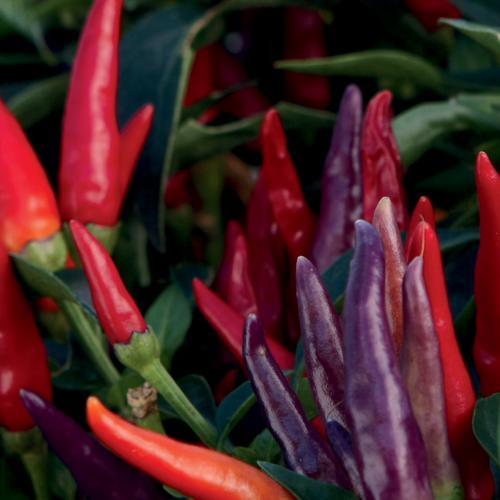 Sangria - Ornamental Pepper - Capsicum annuum