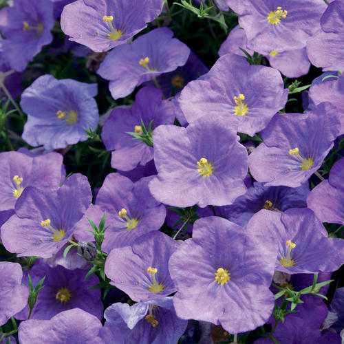 Augusta® Blue Skies - Cupflower - Nierembergia hybrid