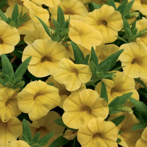 Superbells® Yellow - Calibrachoa hybrid