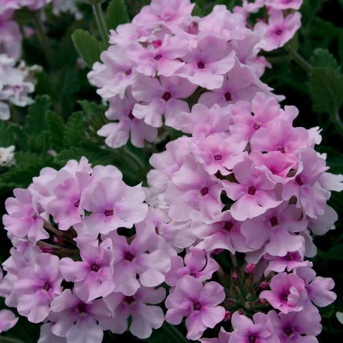 Superbena® Pink Parfait - Verbena hybrid