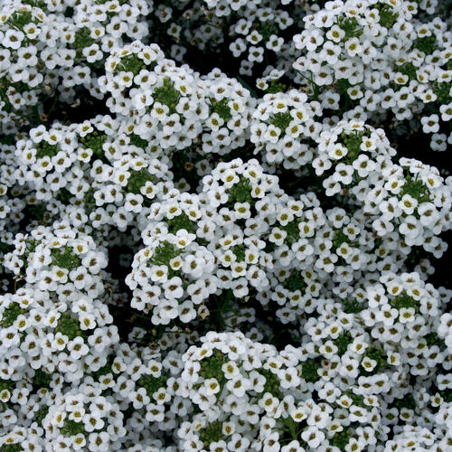 Snow Princess® - Alyssum - Lobularia hybrid