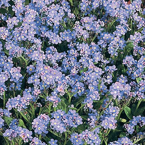 Wake Up Blue - Forget-Me-Not - Myosotis