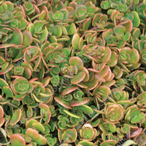 'Coral Reef' - Chinese Sedum - Sedum tetractinum